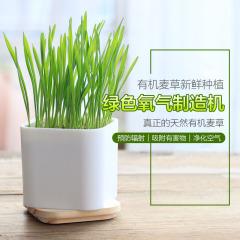 【麦·健康】有机小麦草桌面生态种植 健康防辐射diy小麦草榨汁盆栽绿植礼品